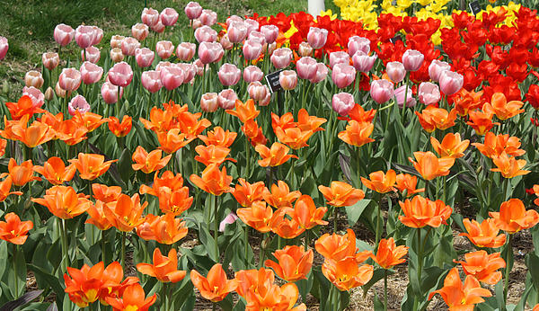 Colorful Flower Bed Print by John Telfer