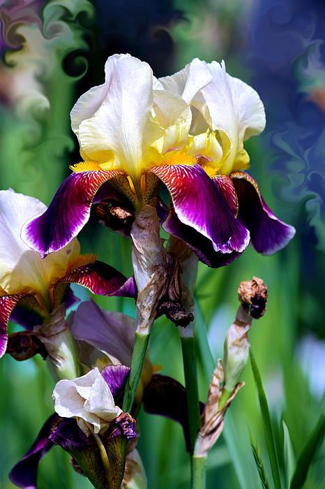 Colorful Iris Grandeur Print by Karon Melillo DeVega