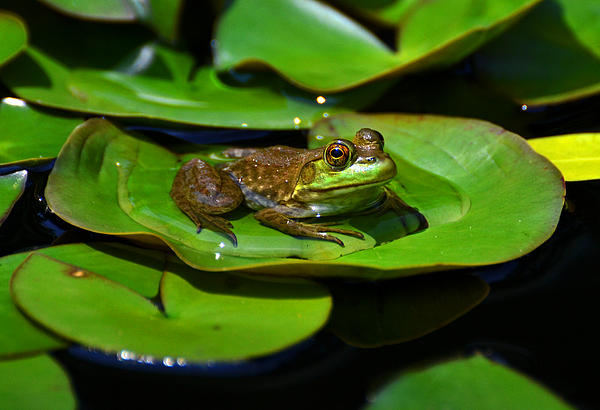 George Bostian - Colors Of Nature - Green Frog 006