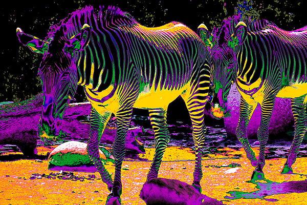 Colourful Zebras  Print by Aidan Moran