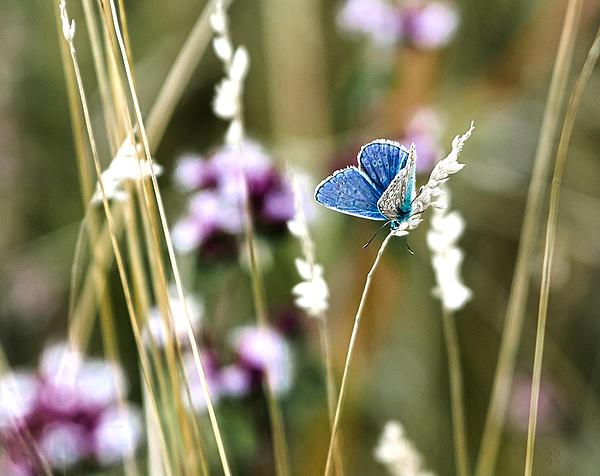 Steven Poulton - Common Blue