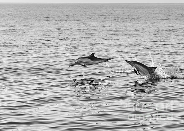 Common Dolphins Leaping. Print by Jamie Pham