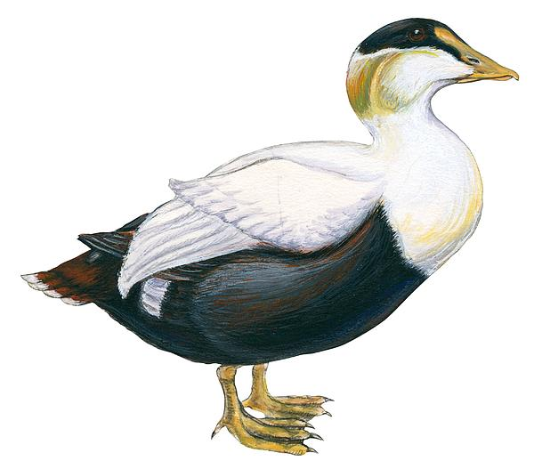 Common Eider Print by Anonymous