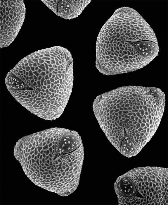 Common Nasturtium Tropaeolum Majus Sem Print by Albert Lleal