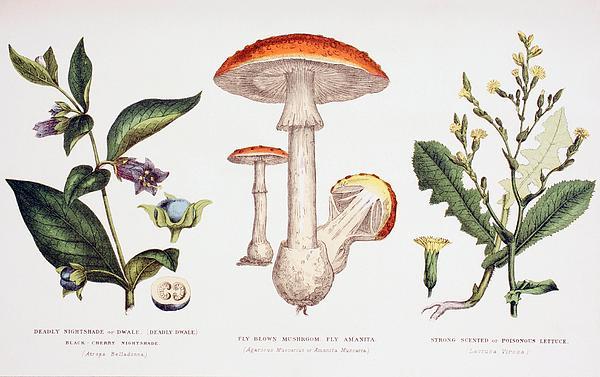 Common Poisonous Plants Print by English School