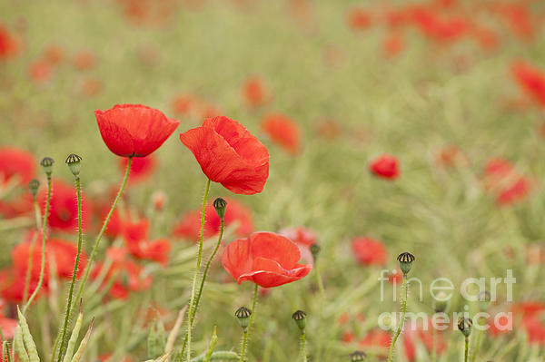 Common Poppies Print by Anne Gilbert