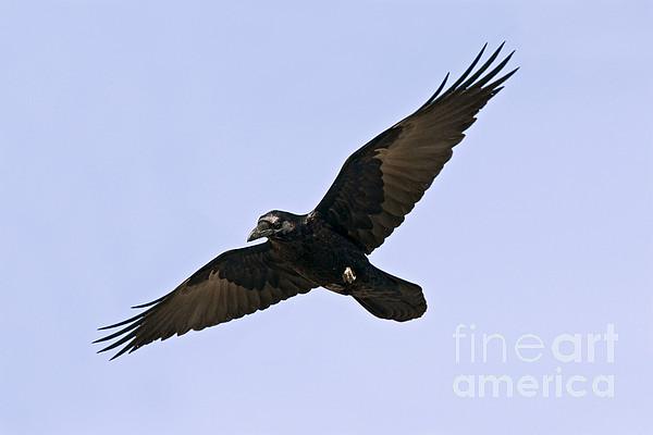 Common Raven Print by Jim Zipp