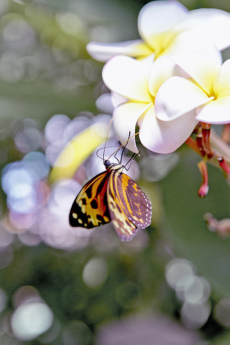 Patricia Sanders - Common Tiger Glassywing Butterfly on Plumeria Bloom