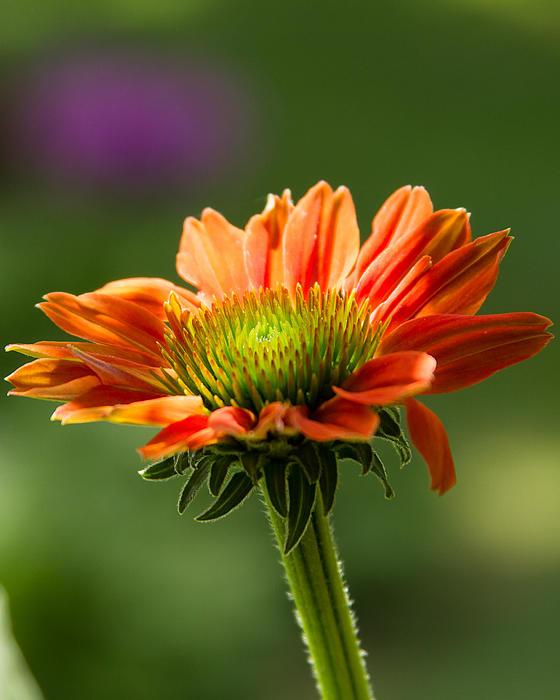 Brian Caldwell - Cone Flower