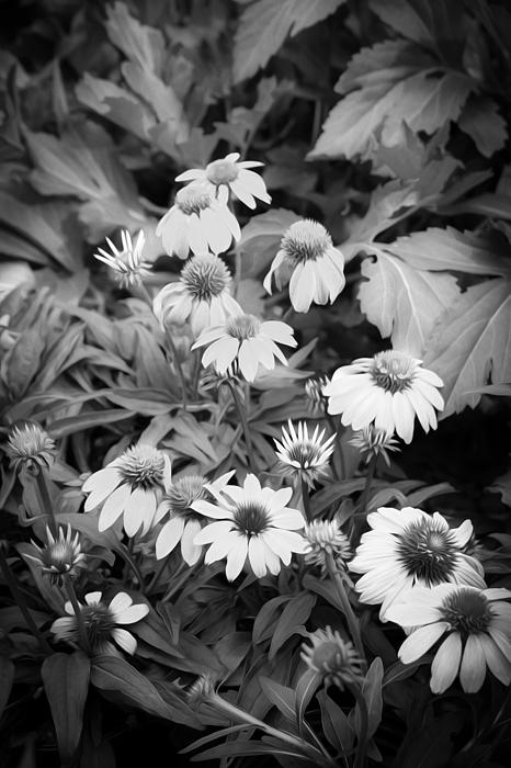 Coneflowers Echinacea Rudbeckia Bw Print by Rich Franco