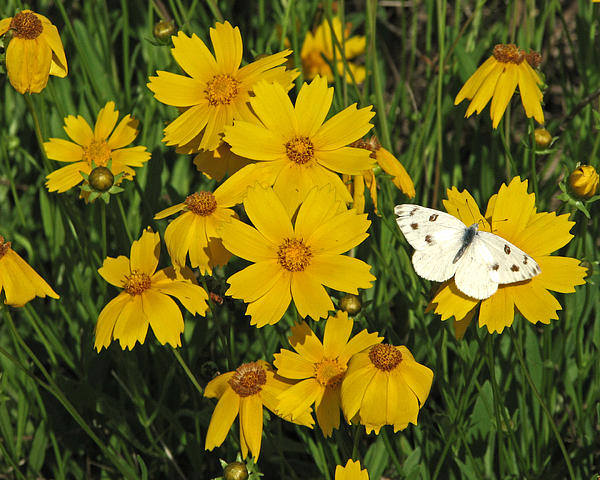Coreopsis Print by Peg Urban