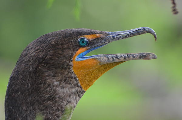 Cormorant Close Up Print by Jodi Terracina