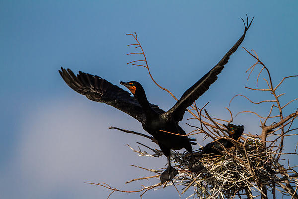 Cormorant Parent Flying Out Print by Andres Leon