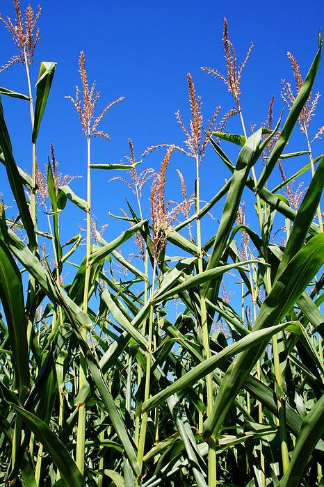 Corn Field Rural America Print by Heather Allen