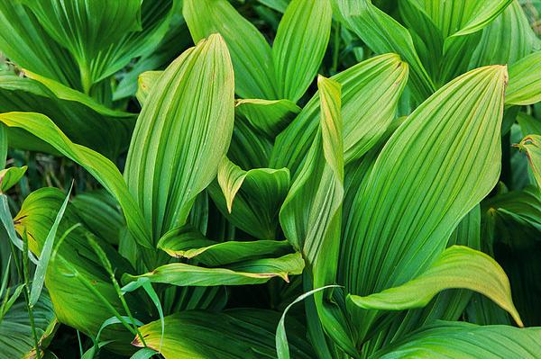 Corn Lilies Glacier National Park Print by Rich Franco