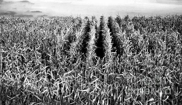 Corn Rows Print by Lori Kallay
