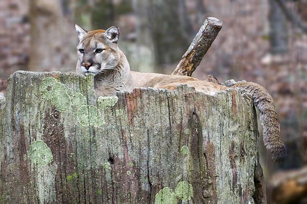 Chris Flees - Cougar on a stump