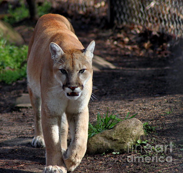 Eva Thomas - Cougar Walking towards you