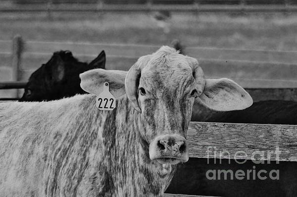 Cow 222 Print by Lynda Dawson-Youngclaus