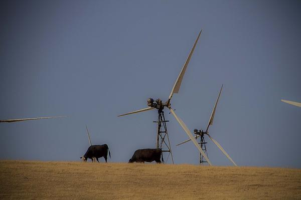 Cows Over The Hill Print by Miguel  Uribe