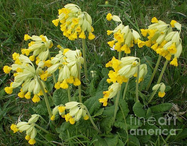 Cowslips Wildflowers. Print by Ann Fellows