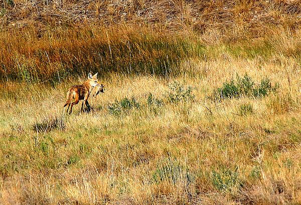 Coyote Catch Print by Rebecca Adams