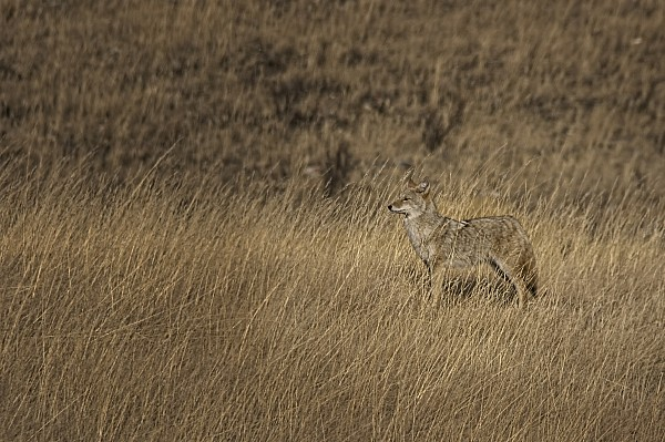 Coyote Standing In Field Of Dried Print by Roberta Murray