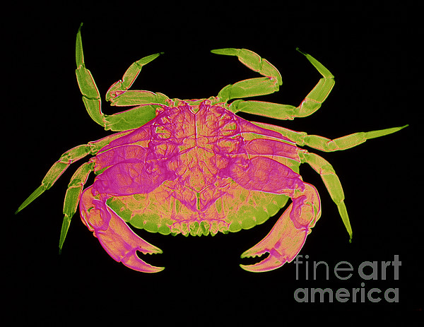 Crab Print by D Roberts