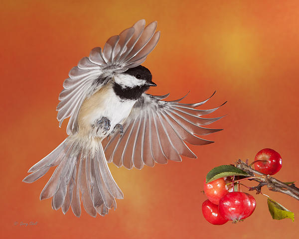 Crabapple Crabapple Before You Fall Who Is The Fairest Of Them All Print by Gerry Sibell