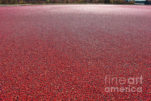 Cranberries Print by Olivier Le Queinec