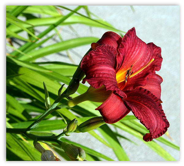 Cranberry Colored Lily Print by Kay Novy