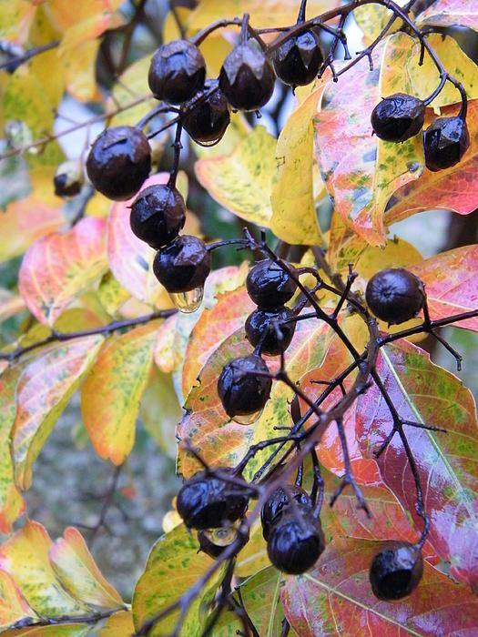 Cheryl Hardt Art - Crepe Myrtle in the Rain - Autumn