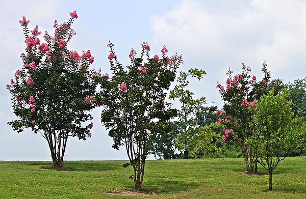 Crepe Myrtle Trees Print by Carolyn Ricks