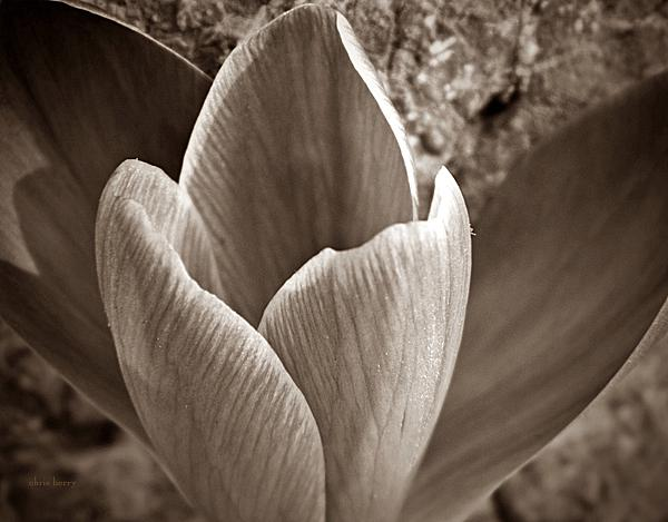 Crocus Print by Chris Berry