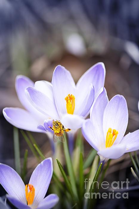 Crocus Flowers And Bee Print by Elena Elisseeva