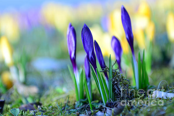 Crocus Print by Hannes Cmarits