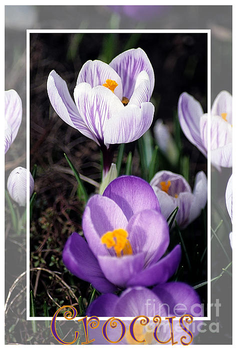Sharon Elliott - Crocus