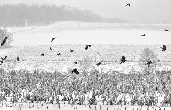 Crows In Cornfield Winter Print by Dan Friend