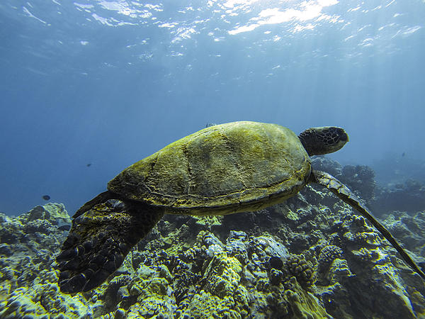 Cruising The Reef Print by Brad Scott