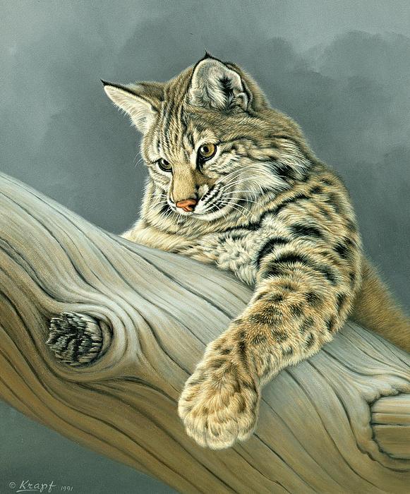 Curiosity - Young Bobcat Print by Paul Krapf