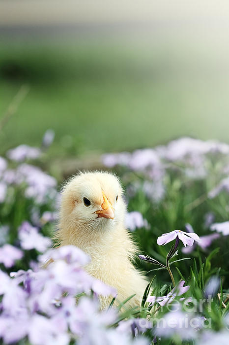 Curious Chick Print by Stephanie Frey