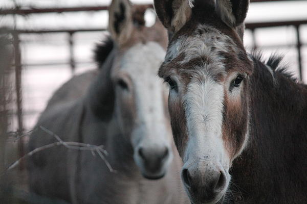 Curious Donkeys Print by Lorri Crossno