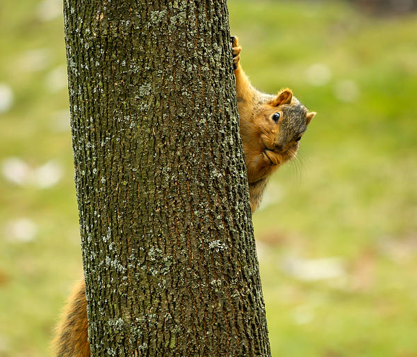 Christine Biondi - Curious Squirrel