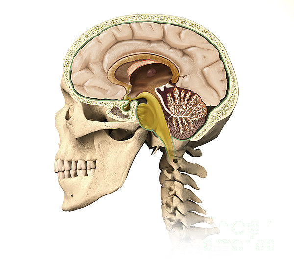 Cutaway View Of Human Skull Showing Print by Leonello Calvetti