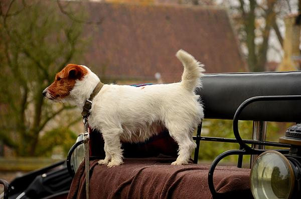 Cute Dog On Carriage Seat Print by Imran Ahmed