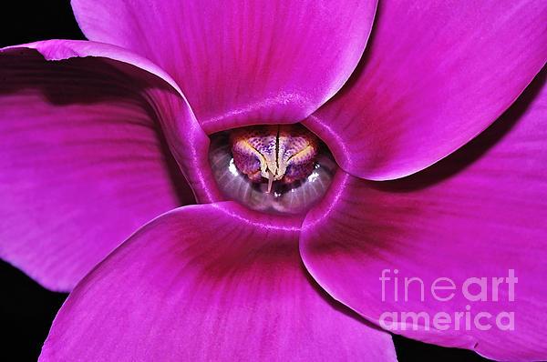 Cyclamen Beauty Print by Kaye Menner