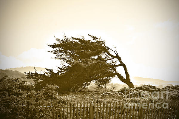 Cypress Trees In Monterey Print by Artist and Photographer Laura Wrede