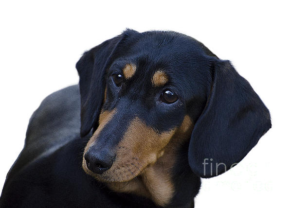 Dachshund Print by Linsey Williams
