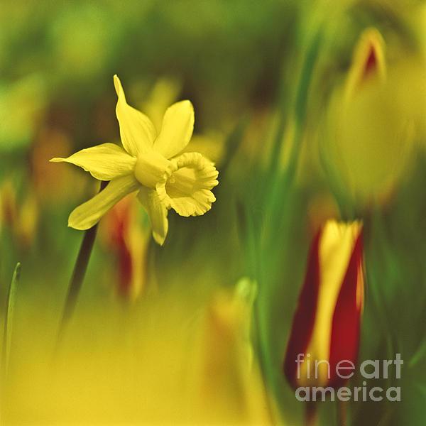 Daffodil Print by Heiko Koehrer-Wagner