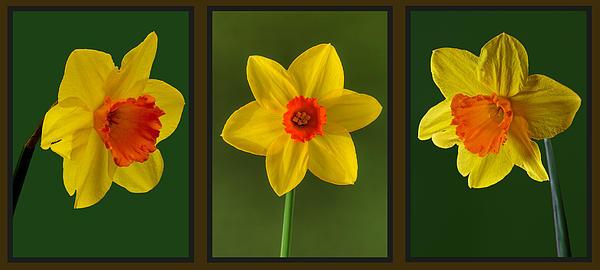 Daffodil Triptych Print by Pete Hemington